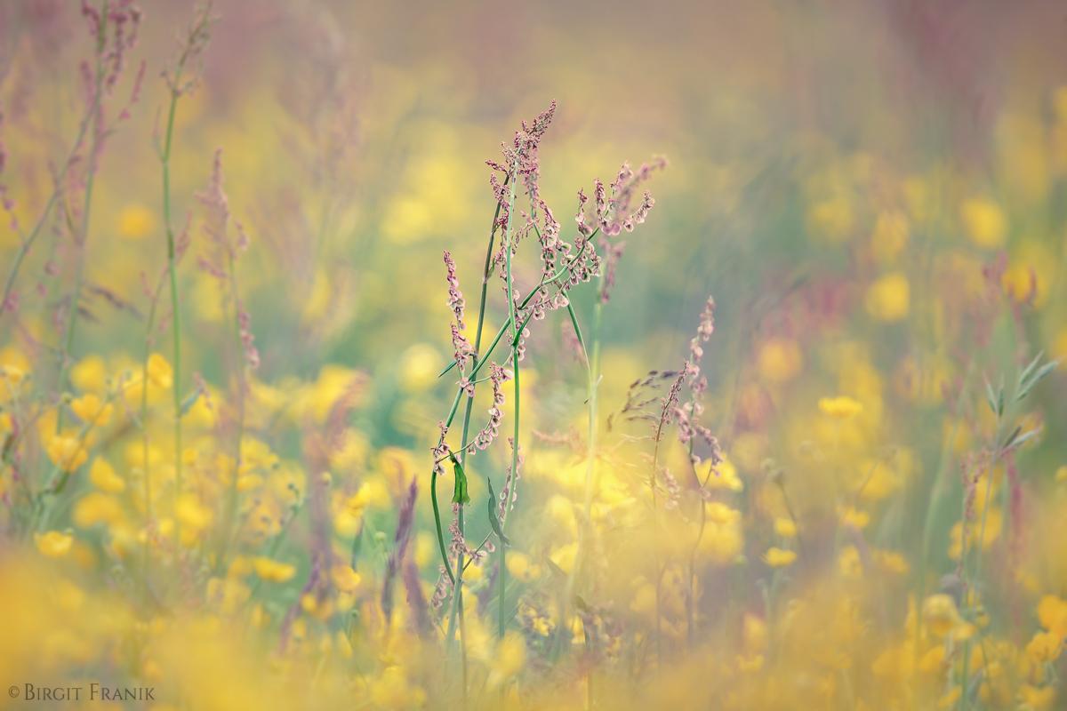 © 2016 Birgit Franik-20160522-6678-Blumenwiesen