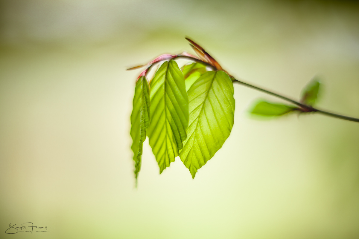 Buchenlaub, grün, Blätter, frisch, neu Zweig