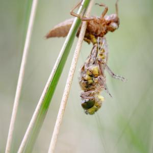 Schlupf einer Libelle II