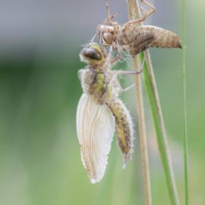Schlupf einer Libelle IV