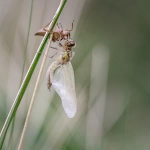 Schlupf einer Libelle V