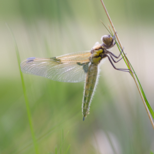 Schlupf einer Libelle VI