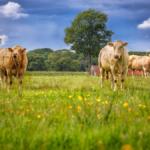 Kühe auf der Weide am Vardingholter Venn
